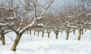 Можно ли обрезать плодовые деревья зимой