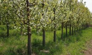 Схема сада плодовых деревьев