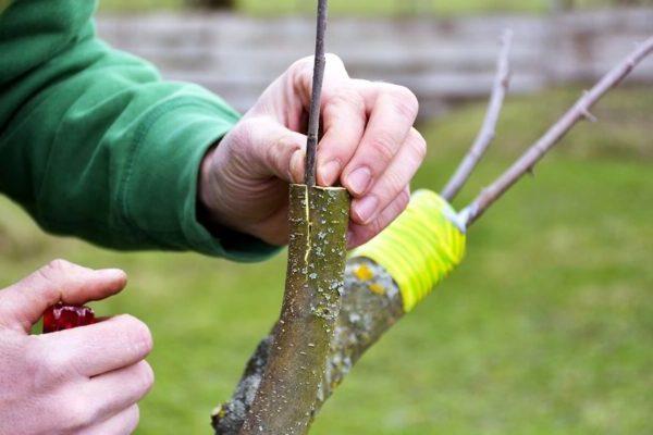 перепрививка плодового дерева