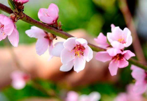 цветок персика Редхейвен