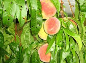поврежденные листья персика