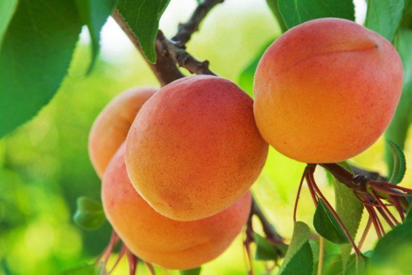 Хардгранд плод