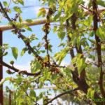 монилиоз на абрикосе