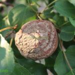 Монилиоз плода